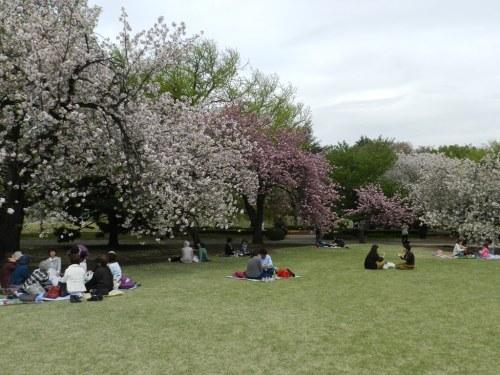 Cerejeiras em flor num parque em Tóquio