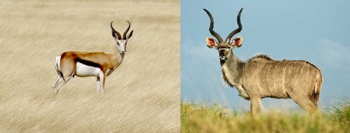 Springbok a esquerda e Kudu a direira