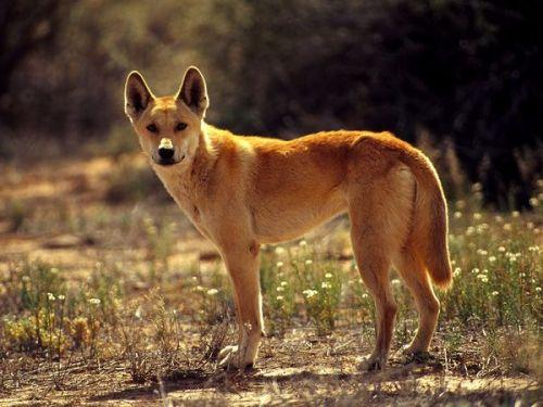 Bicho papão, o dingo