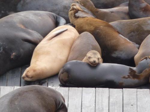Leões marinhos livin' la vida loca no Pier 3