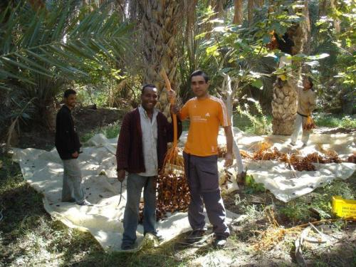 Ajudando na colheita de tâmaras