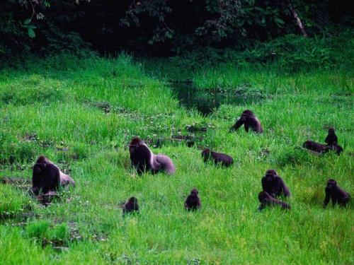 Bando de gorilas (Foto de Michael Nichols)