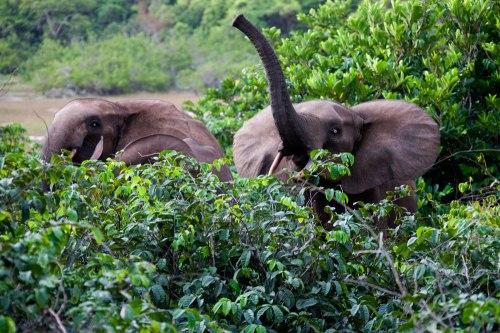 Elefantes em seu estado selvagem (Fonte: Projet Gorille Fenand Vaz)