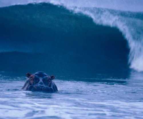 Hipopótamo esperando sua onda