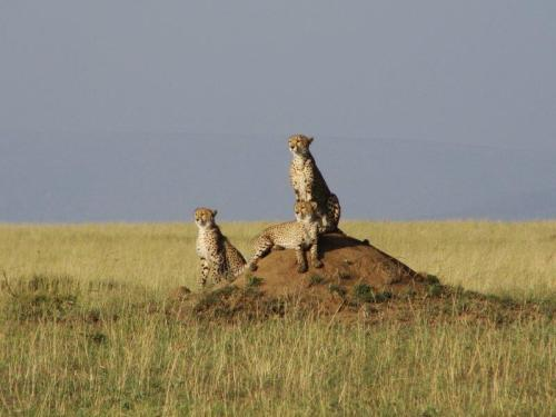 Cheetas esperando o melhor momento para caçar