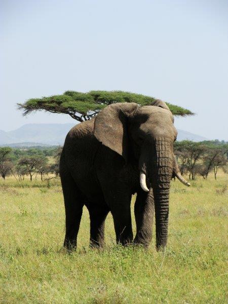 Um dos animais mais incríveis da savana. Elefante parece lento. Só parece