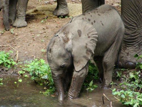 Elefante recém nascido