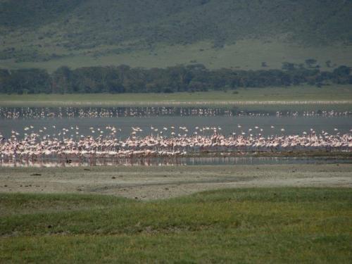 bem como os flamingos