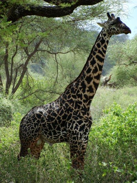 A exótica girafa de manchas escuras