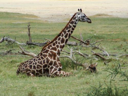 Um raro momento de uma girafa sentada
