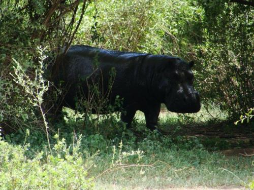 Hipopótamo o animal que mais mata humanos na África