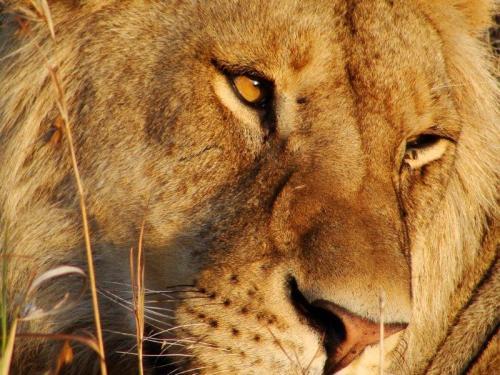 Cara a cara com o rei da savana africana