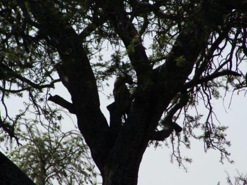 Tímidos por natureza isto foi o mais perto que chegamos de um leopardo