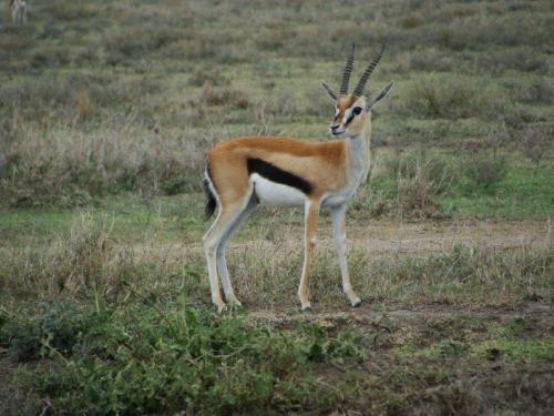 Springbok o símbolo da seleção sul africana de rugbi