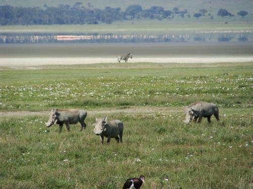 Mas o Pumba deu o ar da graça: Warthogs