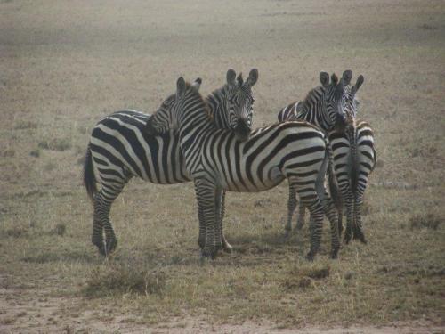Zebras. Elas se posicionam assim para facilitar a visualização de predadores