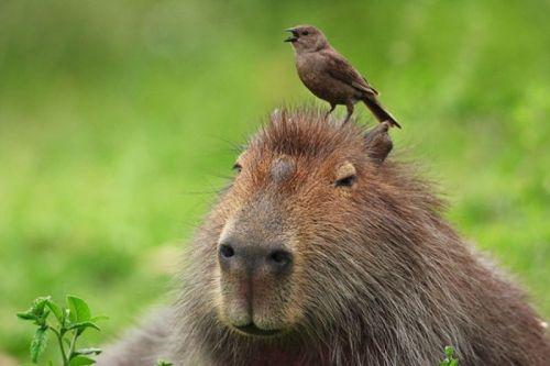 A capivara faz parte da fauna dos Esteros de Iberá